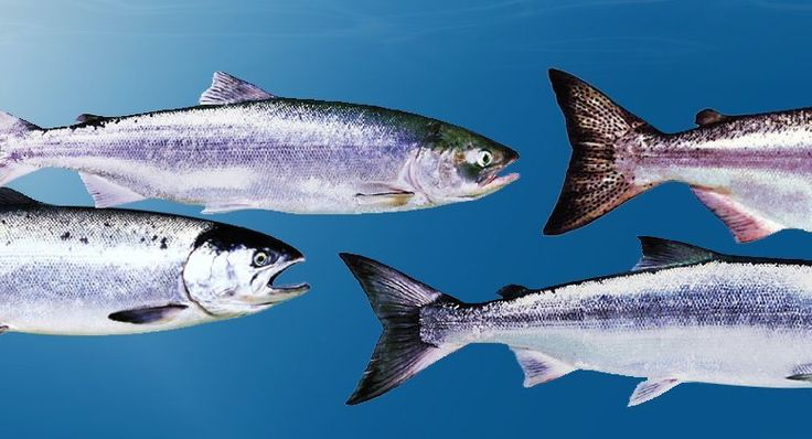 Things We Wish Americans Knew About Us:  B.C. Pacific salmon — commercially fished or farmed — includes many different species such as Chinook, Chum, Coho, Sockeye, Cutthroat, Steelhead and Pink. They can vary in colour and taste from Atlantic salmon, and are found in fishmongers and restaurants across Canada.