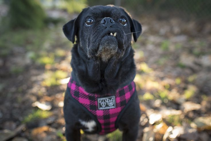 Introducing Your Rescue Pug to Training Part 1 http://www.thepugdiary.com/introducing-rescue-pug-training-part-1/