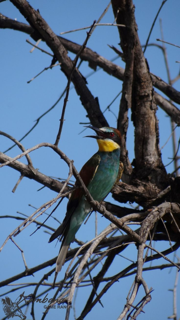 Photo of the Day : TOUCH this image: European Bee-eater, Dinokeng by Xombana