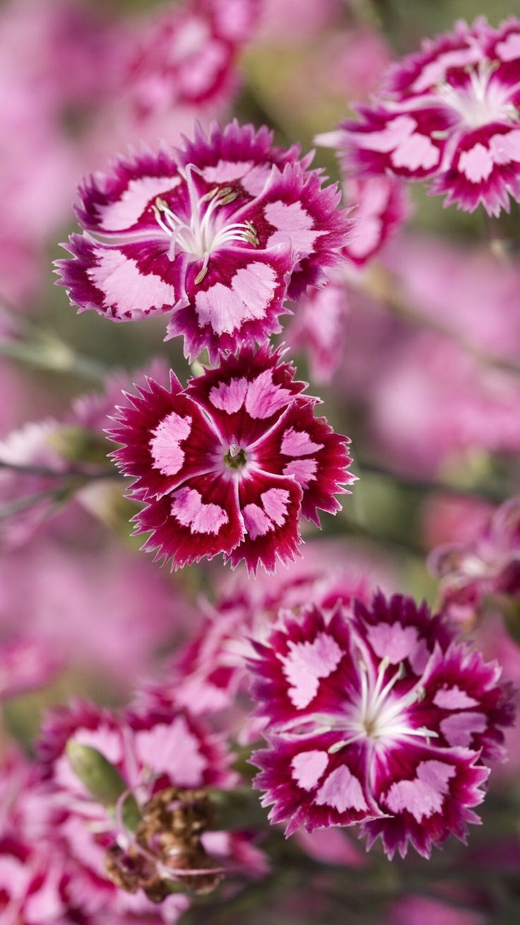 Pink Dianthus Pure Love Beautiful Flowers Dianthus Flowers Pretty Flowers