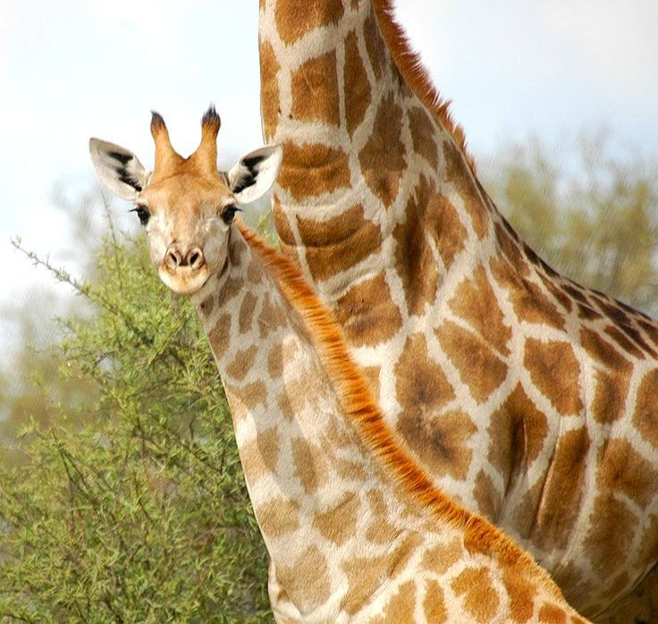 Giraffe (Giraffa camelopardalis):  Male giraffes can weigh between 970 and 1395 kilograms. A giraffe's diet is mainly leaves, but it also eats grass. Its habitat is open woodland to shrubby, dry savannah. An interesting fact about giraffes is When a giraffe walks, the legs on the same side swing simultaneously.