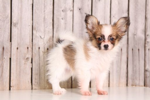 Papillon puppy for sale in MOUNT VERNON, OH. ADN-43950 on PuppyFinder.com Gender: Male. Age: 10 Weeks Old