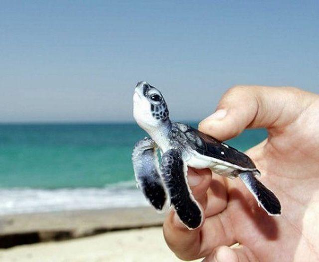 Eeee SO cute. Baby Green Sea Turtle.