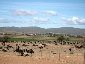 Ostrich farm outside Oudtshoorn