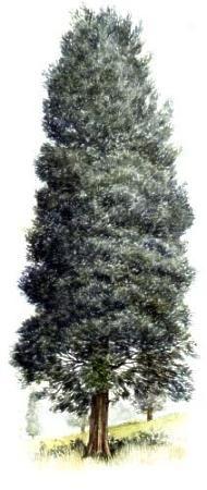 Восточный красный кедр / Eastern Red Cedar
