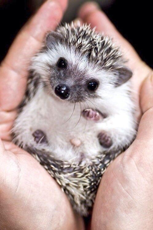 hedgehog for a pet =) | Makes me Smile :) | Pinterest