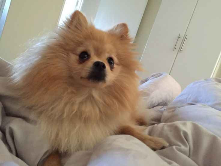 Teddy the Toy Pom #Pomeranian #puppy #cute
