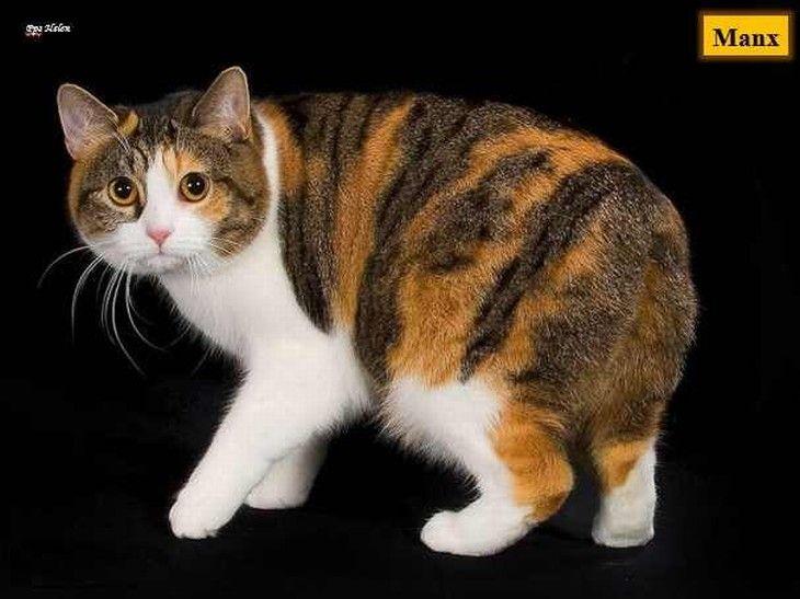 Manx Katze, Manx Kätzchen Und Graue Katzen Namen