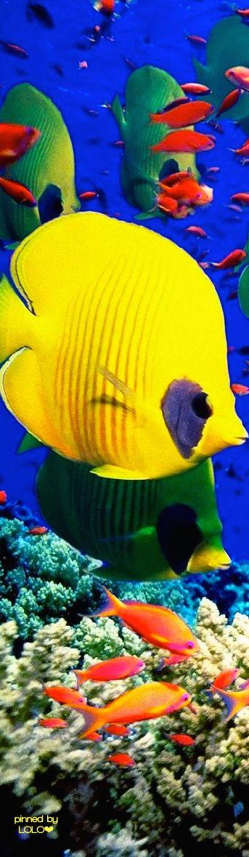 Pez Disco, en la gran Barrera de Coral.                                                                                                                                                                                 Más