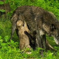 Wolf pups feeding