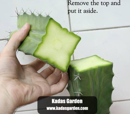 Grafting Cactus Guide