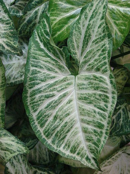How to Winterize Caladium | Garden Guides Harvest your caladium corms from the soil in the fall just before or just after the first light frost. Leave the top foliage intact to act as a locating tool, and using a cultivating fork or trowel, loosen the surrounding soil and lift the corm out.