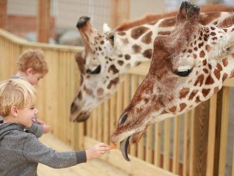 Tuesday Giraffe Cam (5/9/17) Animal Adventure Park NY