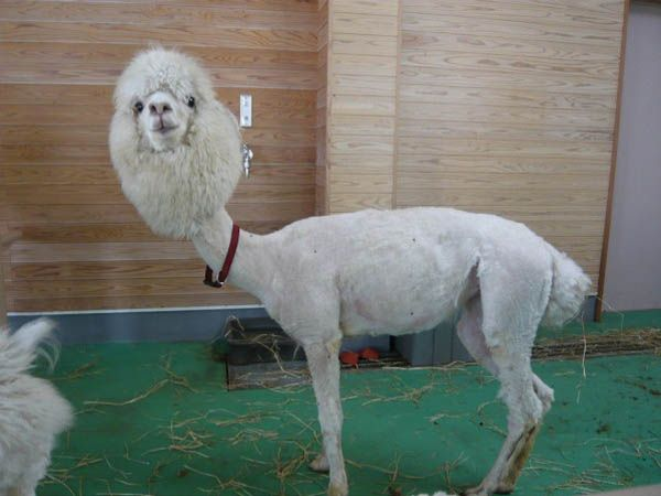 funny alpacas with awesome amazing hilarious hair (20)
