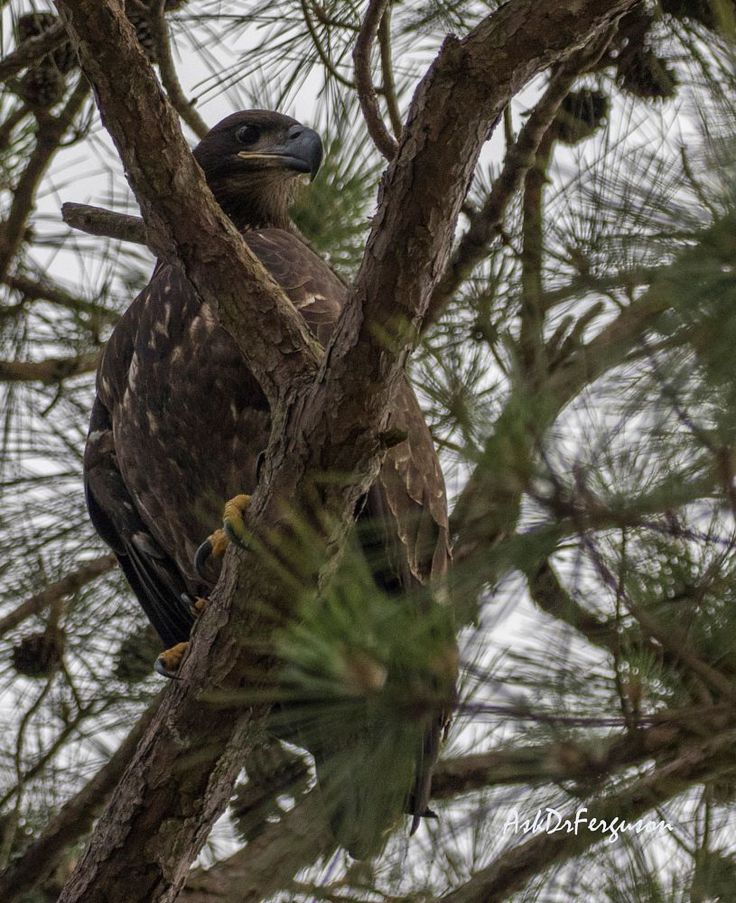 Immature Bald Eagle looking out from tree  by askdrferguson