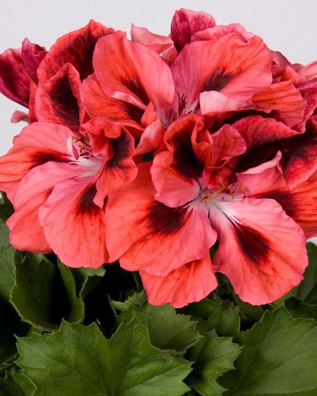 Martha Washington Geraniums Care: 278 Best Spring 2014 Annuals Images On Pinterest