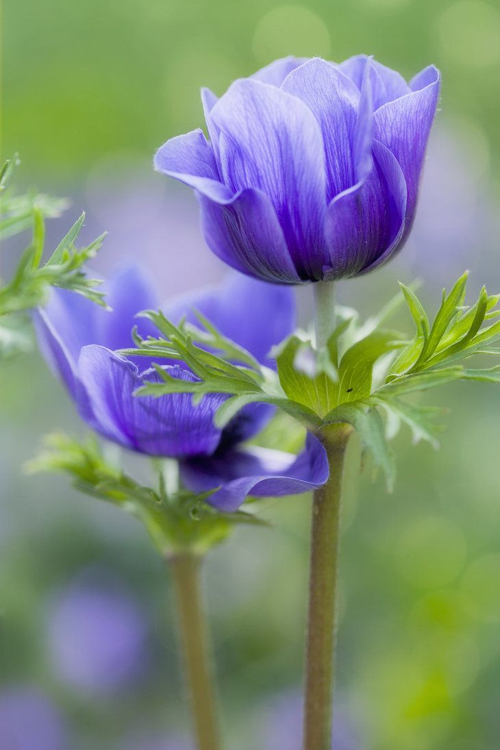 "Anemone Coronaria The Greek word Anemone means ""daughter of the wind"" The story is that the plant was created by Venus when she sprinkled ne..."