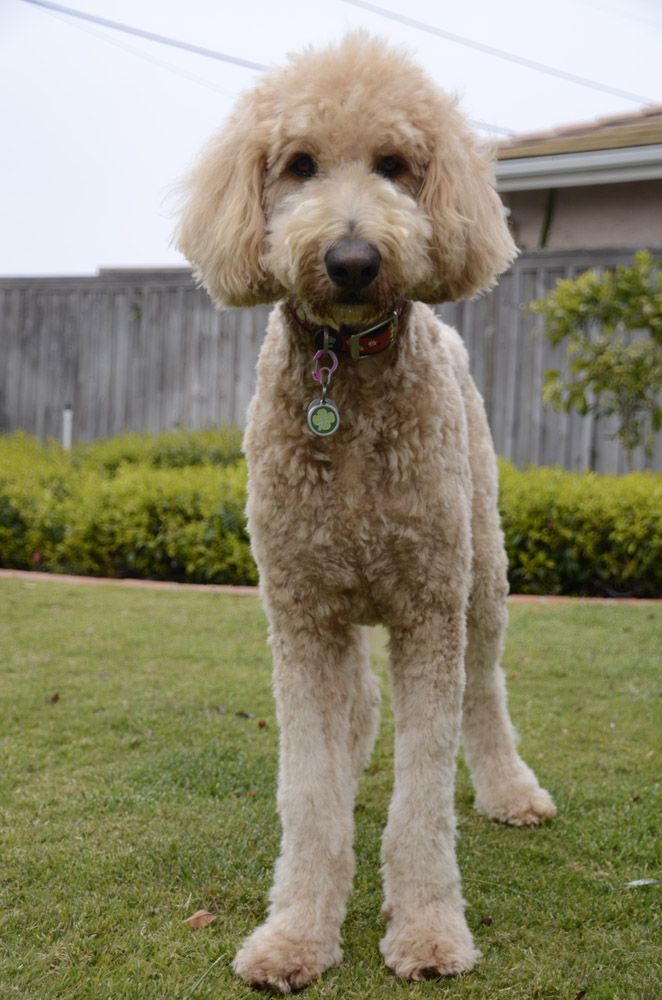 semi short haircut on a goldendoodle goldendoodles 537 best goldendoodles images on pinterest golden