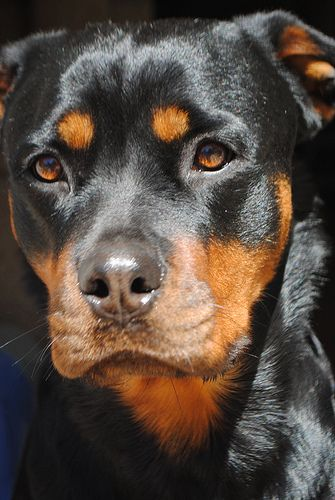 Rottweiler reminds me of a young amber! Such a cutie!
