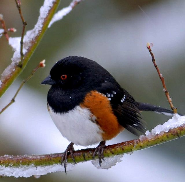 My new favorite bird, the Spotted Towhee!