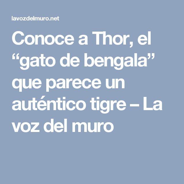 """Conoce a Thor, el """"gato de bengala"""" que parece un auténtico tigre – La voz del muro"""