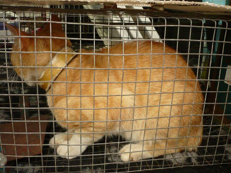 donderdag 08/08/2013 werd deze rosse kater gevangen in een fabriek in de industriezone Moorsele/Gullegem. waarschijnlijk met een vracht- of bestelwagen terecht gekomen had een kartonnen halsband om - is niet wild maar natuurlijk bang en gestresseerd. Hij verblijft bij de dierenarts voor castratie en observatie. Asiel De Grensstreek https://www.facebook.com/photo.php?fbid=539323162784000=a.485450988171218.1073741825.180622695320717=1
