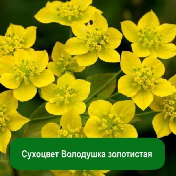 Сухоцвет Володушка золотистая, 1 кг