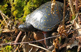 Spotted Turtle (Clemmys guttata) Endangered. Most female and male turtles look a little bit different. In the case of Spotted Turtles, females have bright orange eyes and chins whereas males' are dark brown or black.