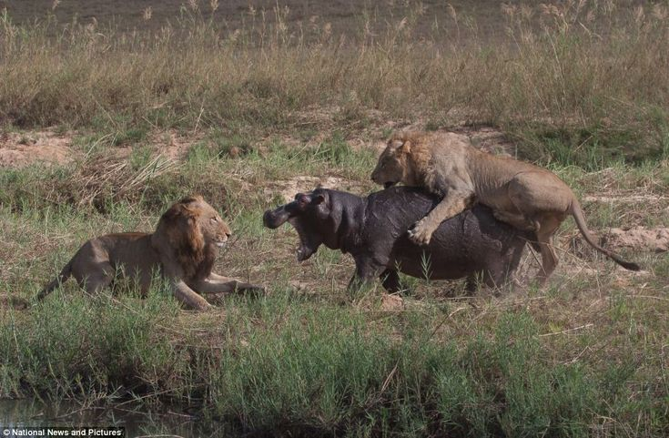 Fight to the death: A lion gets onto the hippo's back and the other attacks from the front at the Sabi Sands Game reserve in South Africa