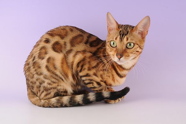 Ocicat:    This breed resembles a wild cat but behaviorally it is not at all savage. This is a breed of Siamese and Abyssinian. Their temperament is comparable to that of the high spirited dogs. They are faithful, sociable and easy to train. There are as many as twelve recognized coloration of cats under this breed; Tawny, chocolate, cinnamon, blue, silver, etc. They are large with oval paws and muscular body.