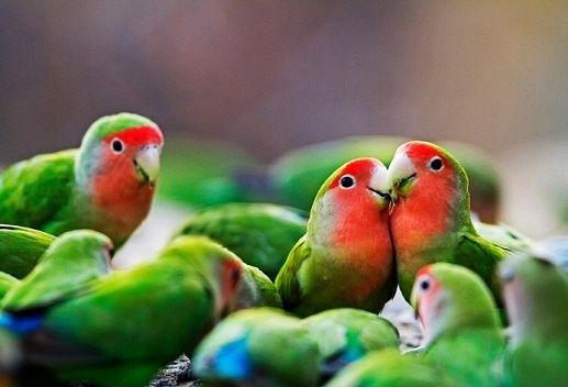 BudidayaBurung.XYZ – Semua jenis burung lovebird lengkap beserta gambarnya. Burung lovebird atau lebih dikenal dengan sebutan labet menjadi salah satu varian burung yang cukup banyak peminatnya di Indonesia. Berbagai kalangan masyarakat tanah air jatuh hati pada burung cinta yang satu ini, mulai dari anak muda, orang dewasa, orang tua hingga banyak anak-anak yang menyukainya