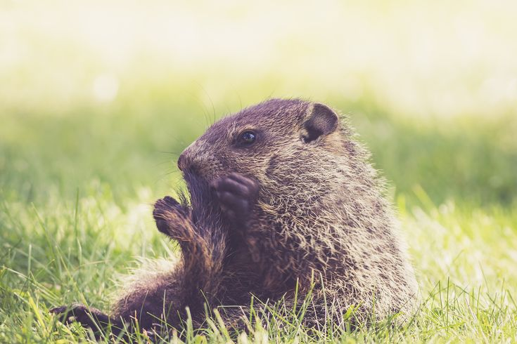 On February 2nd, Punxsutawney Phil crawls out of his hole during the early morning hours. He looks around to see if his shadow is there. If he sees it, he retreats into his hole and six more hours of winter ensue. If he does not see it, spring will come early! Did you ever wonder how this day came to be? What is the meaning of Groundhog Day?