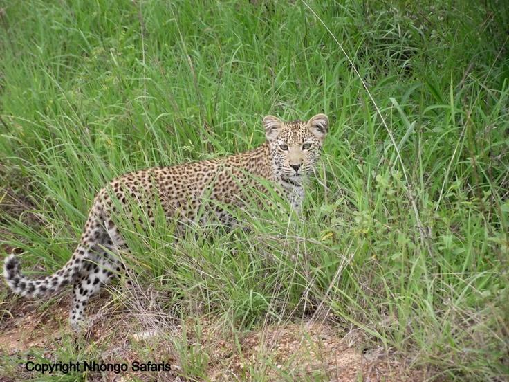 Leopard 16