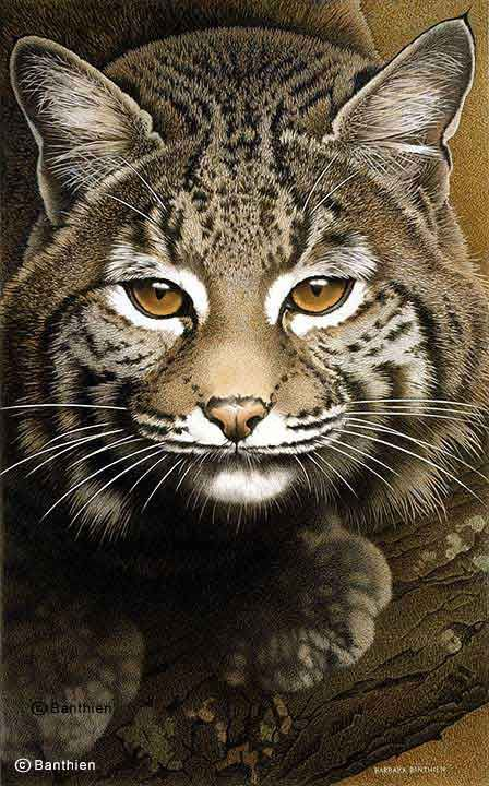 BOBCAT BY BARBARA BANTHIEN: