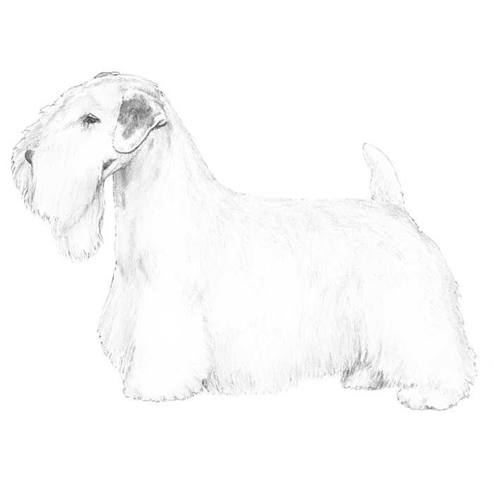 Sealyham Terrier breed standard illustration: Long, broad and powerful, without coarseness. It should, however, be in perfect balance with the body, joining neck smoothly. Length of head roughly three-quarters height at withers, or about an inch longer than neck. Breadth between ears a little less than one-half length of head. stop. Cheeks - Smoothly formed and flat, without heavy jowls. Jaws - Powerful and square. Nose - Black, with large nostrils. White, cherry or butterfly bad faults.