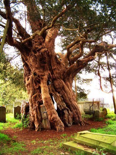 Old Yew Tree Crowhurst Church Surrey