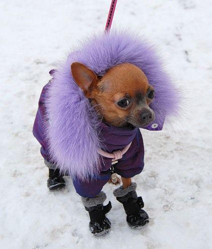 cute chihuahua in winter attire