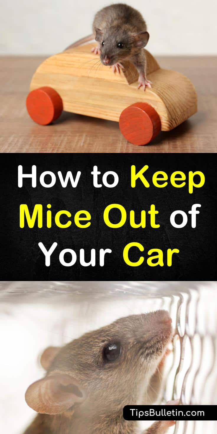7 Smart Simple Ways To Keep Mice Out Of Your Car Cleaning Hacks Getting Rid Of Mice Mice Repellent