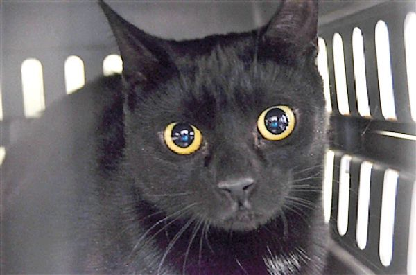 SATIN - 17770 - - Brooklyn  ***TO BE DESTROYED 1/11/18*** BEAUTIFUL SATIN  IS A PANTHERETTE WHO IS HOPING FOR A NEW HOME TONIGHT!!   SATIN is a spayed girl whose owner brought into the shelter when he became homeless.  She is tense and needs a place to relax and regroup.  Who will adopt this beautiful cat today?  YOU MUST RESERVE SATIN BY NOON!! -  Click for info & Current Status: http://nyccats.urgentpodr.org/satin-17770/