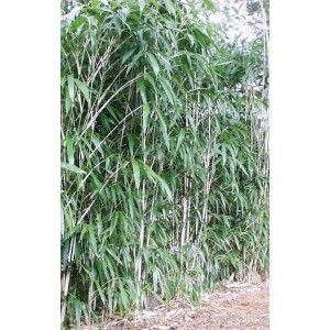 Bamboo Plants for Sale, Buy Bamboo Plants - Black Bamboo, Dwarf Bamboo, Golden Bamboo - Plants & Trees Online