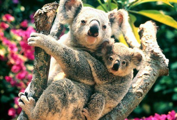 Cумчатые животные Австралии