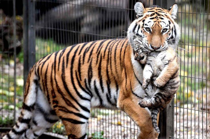 Une maman tigre de Sibérie porte un de ses bébés nés le 29 septembre. Elle en a eu 3.