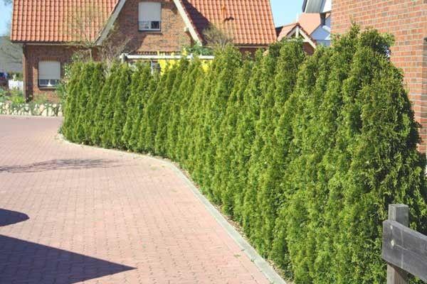 Thuja Smaragd Lebensbaum