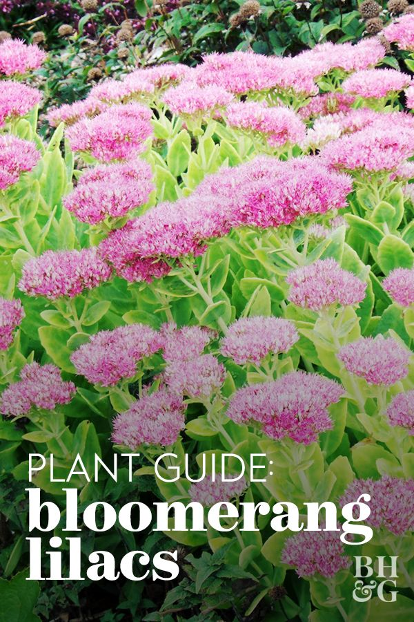 Meet The Bloomerang A Lilac That Blossoms Twice Each Season In 2020 Lilac Varieties Lilac Lilac Bushes