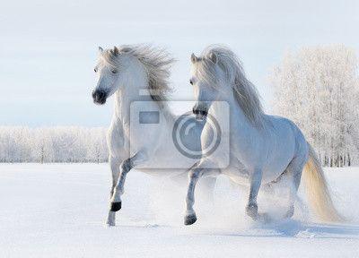 Fotobehang Twee witte paarden galopperen op sneeuw veld