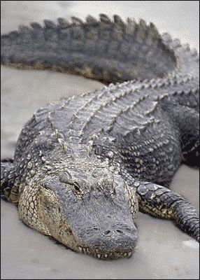 Don't like Alligators or Crocodiles except in boots, belts & bags!