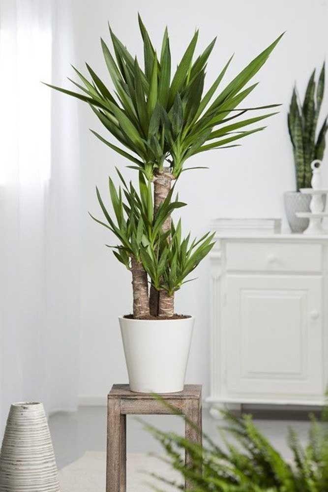 Plantas Para Dentro De Casa Principais Especies Para Escolher Como Plantar Mandioca Folhagem Para Sala Plantas De Folhagem