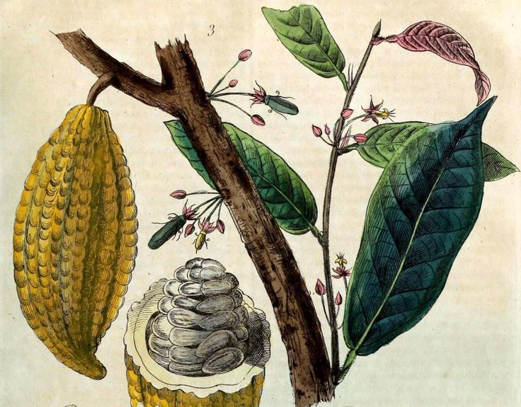 Resultado de imagem para cacao plant illustration search plant