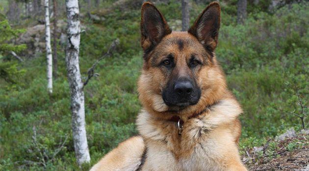 Av Köpeği Köpek Eğitimi Av köpeğiniz var fakat nasıl eğiteceğiniz bilmiyor musunuz ? Endişelenmeyin. Sitemizdeki bilgiler ışığında köpeğinizi eğitebilirsiniz.