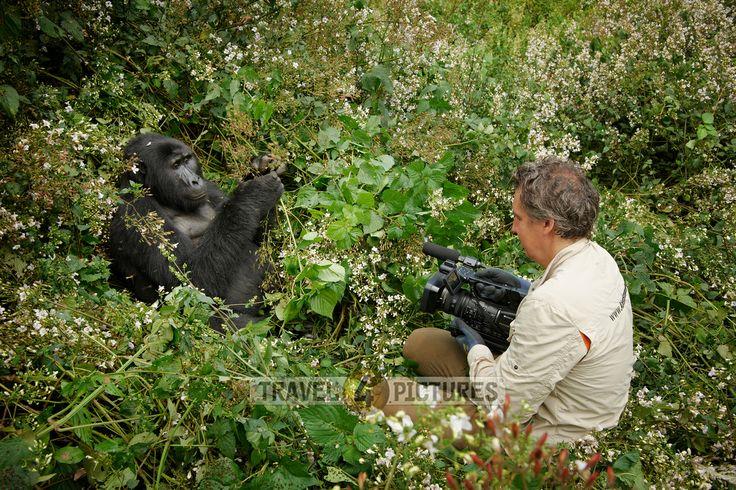 tourist filming a mountain gorilla [Gorilla beringei beringei], Bwindi Impenetrable National Park, Uganda, Africa  Tourist filmt einen Berggorilla [Gorilla beringei beringei], Bwindi Impenetrable National Park, Uganda, Afrika
